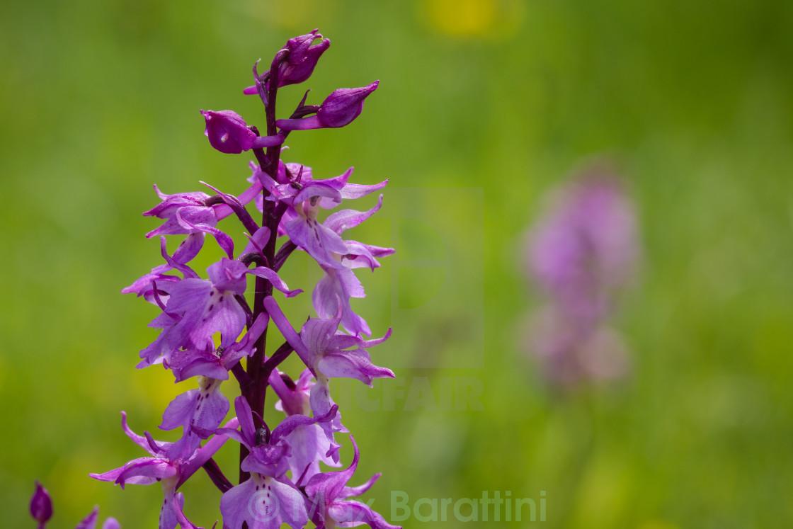 """Orchis Mascula Speciosa"" stock image"