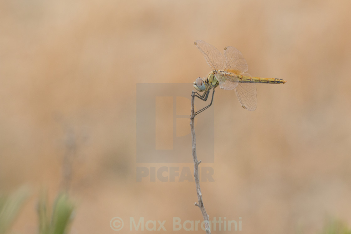 """Yellow dragonfly"" stock image"
