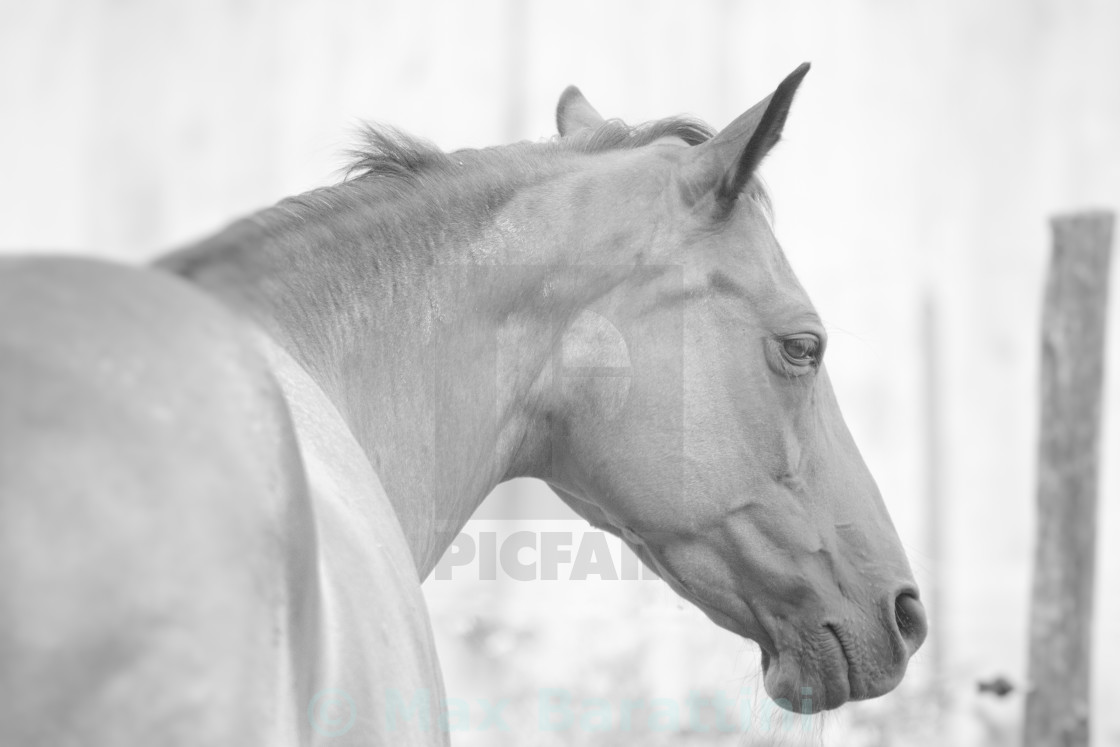 """Pure-blooded horse"" stock image"