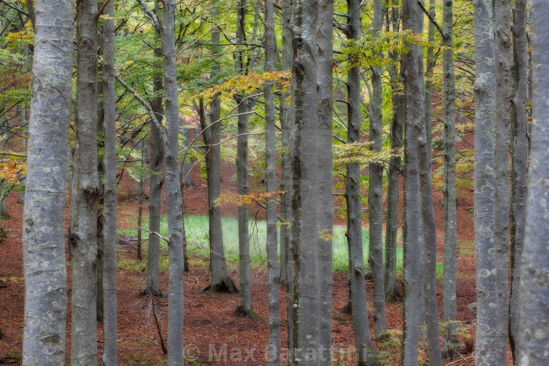 """Beech forest"" stock image"