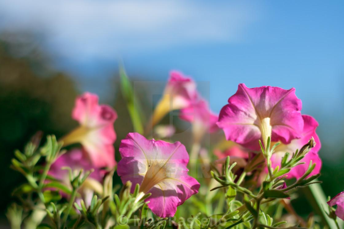 """""""Closeup on pink petunias in pot"""" stock image"""