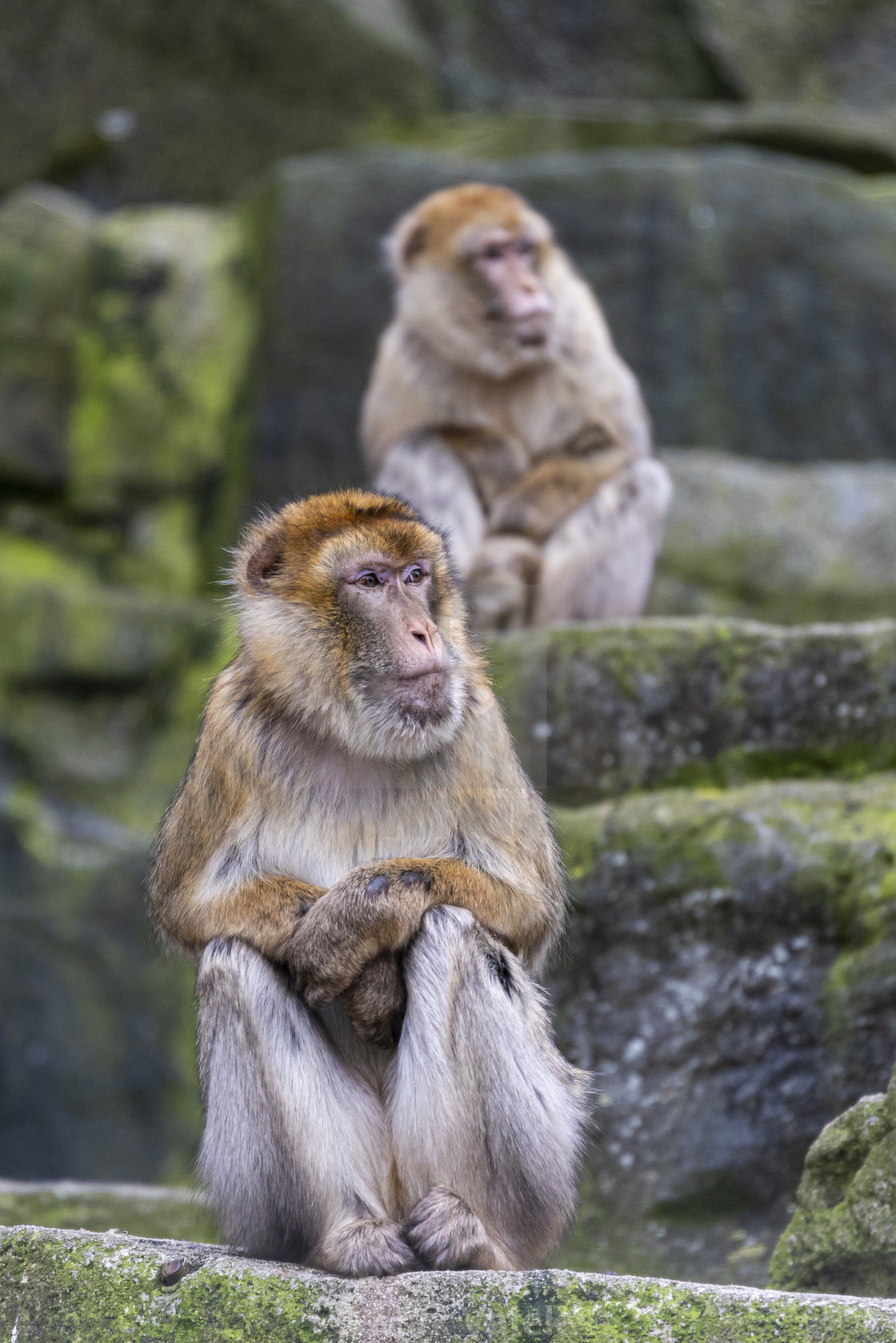 """The Monkeys On The Rock"" stock image"