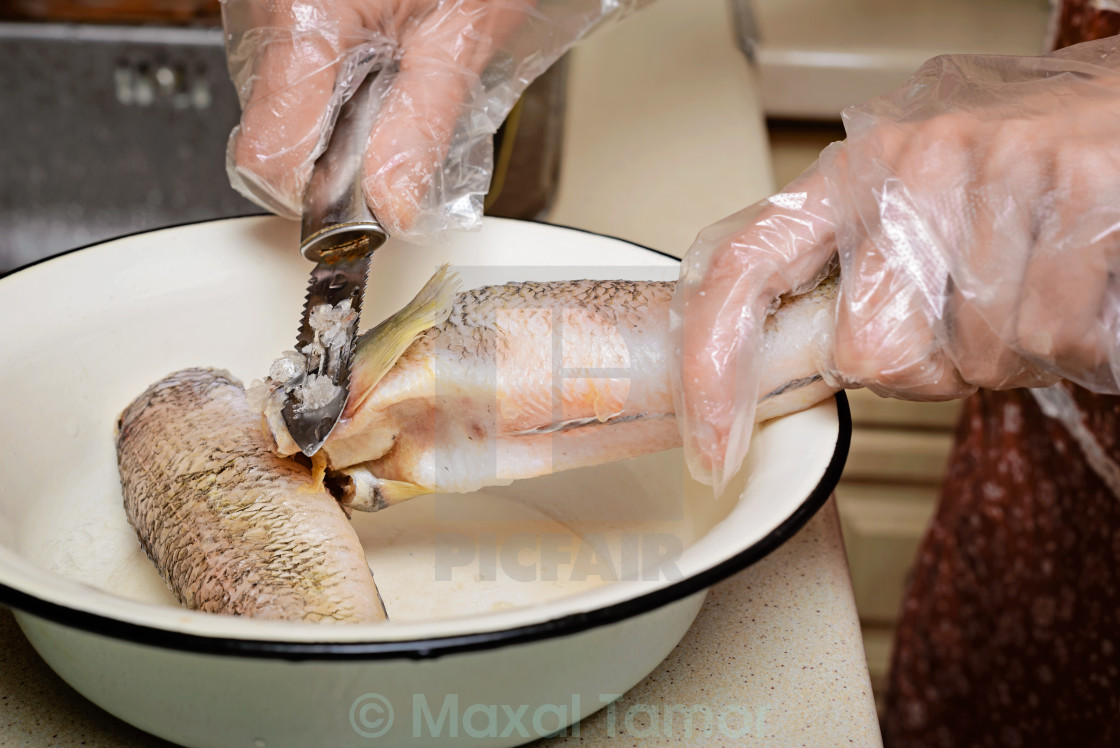 """Cleaning Cod Icefishes"" stock image"