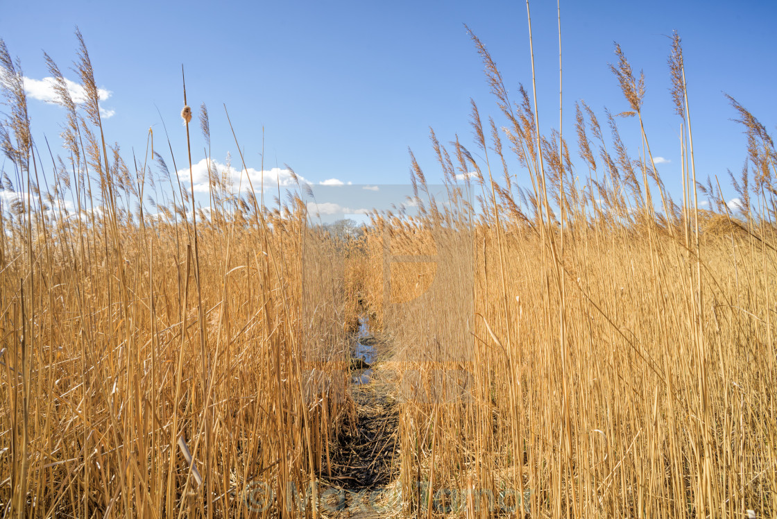 """Path Through the Reeds"" stock image"