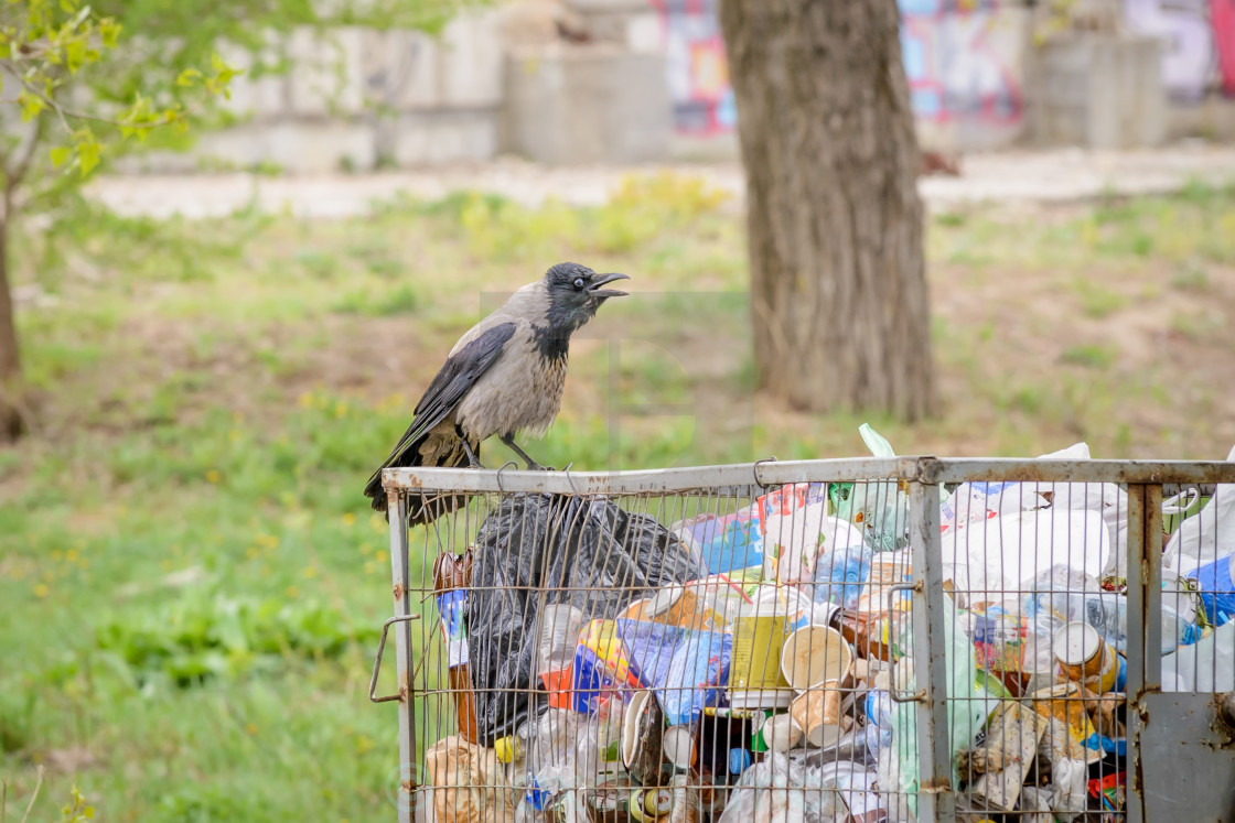 """Hooded crow with Garbage"" stock image"