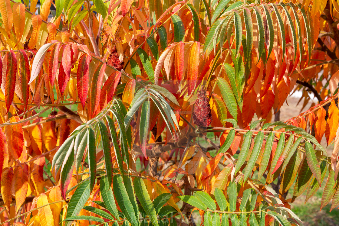"""""""Rhus typhina, or staghorn sumac, leaves colored of green and ora"""" stock image"""