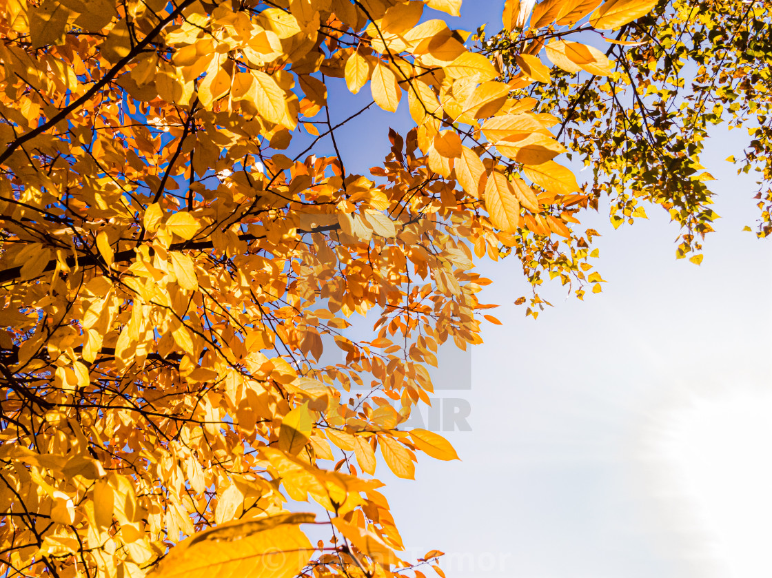 """Orange common hornbeam (Carpinus betulus) leaves close to the Dnieper river in Kiev, Ukraine, at the beginning of autumn, with a soft blue cloudy sky"" stock image"