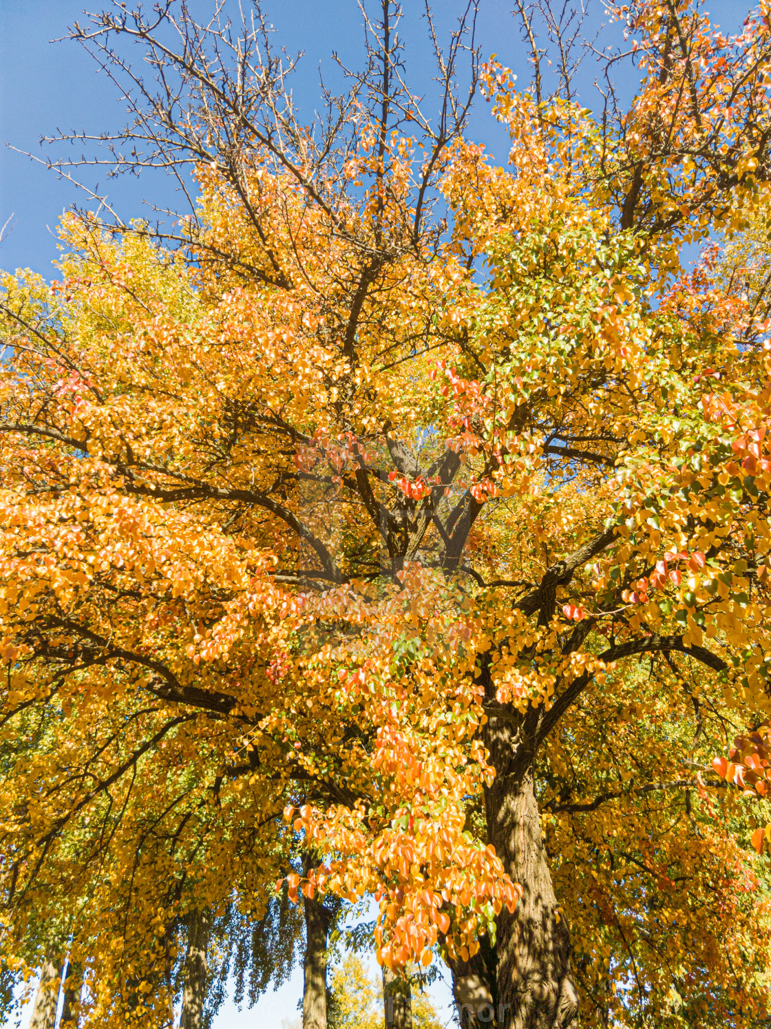 """Detail of the foliage of a huge pear tree in autumn, with green, orange and gold leaves"" stock image"
