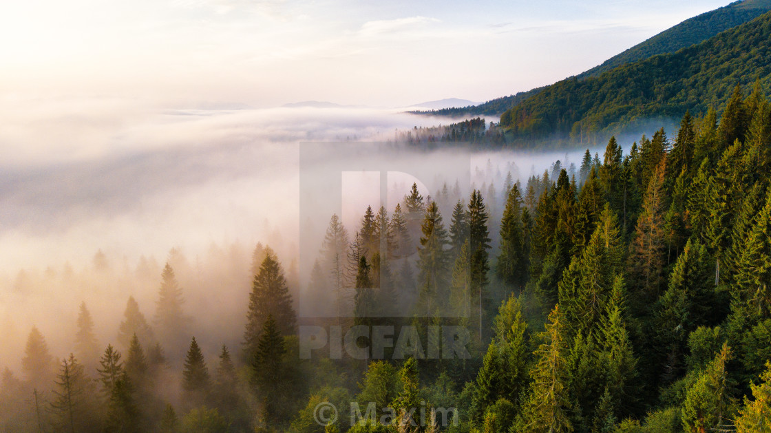 """""""Beautiful foggy sunrise in mountains. Fir forest in clouds of mi"""" stock image"""