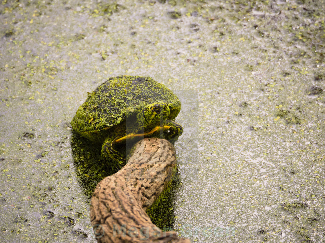 """""""Painted Turtle"""" stock image"""