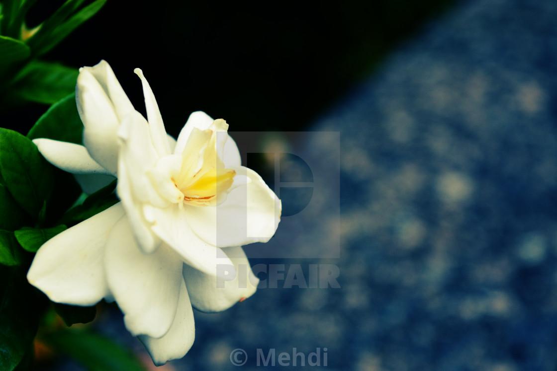 White Gardenia Flower License For 124 On Picfair