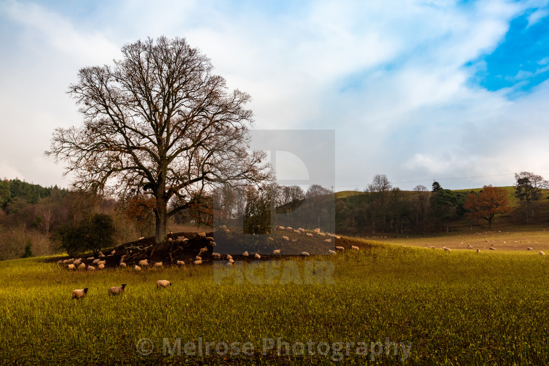 Golden field with sheep under tree