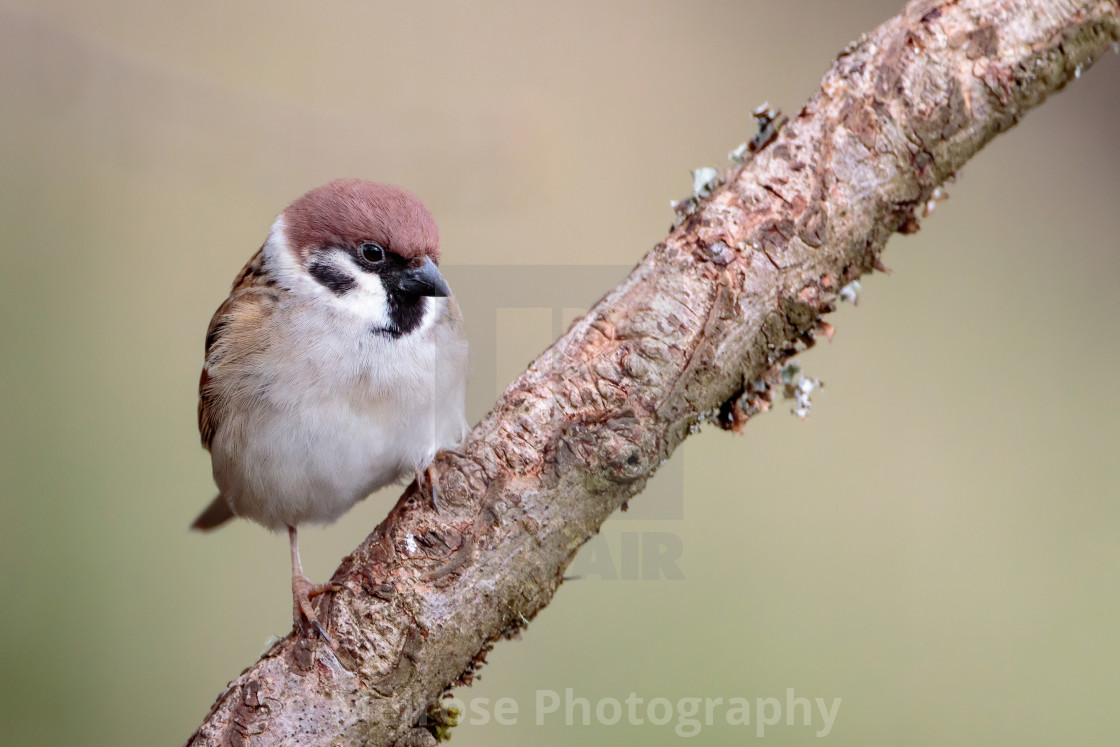 Tree Sparrow perched on a branch