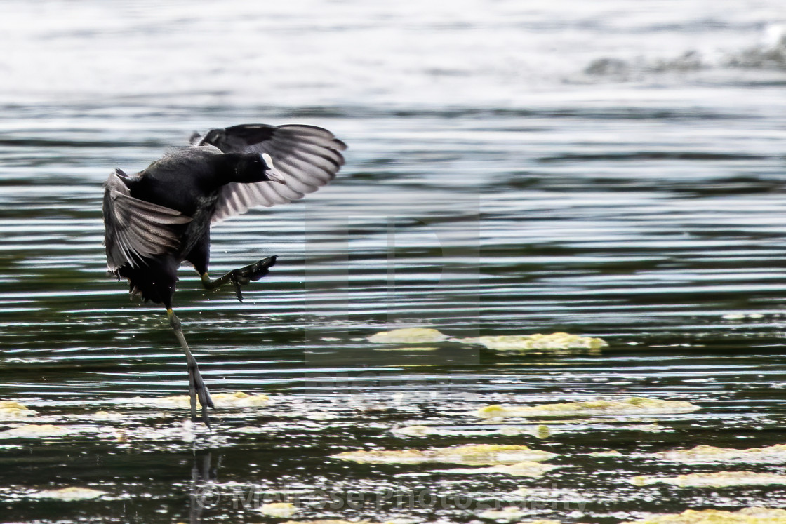 """""""Coot coming into land"""" stock image"""