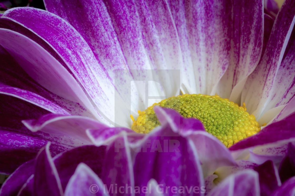 Chrysanthemum_001