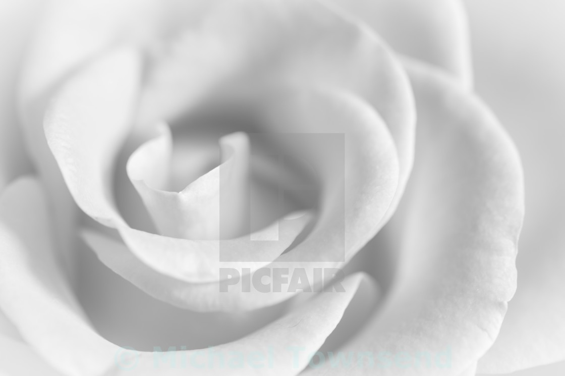 """The White Rose"" stock image"