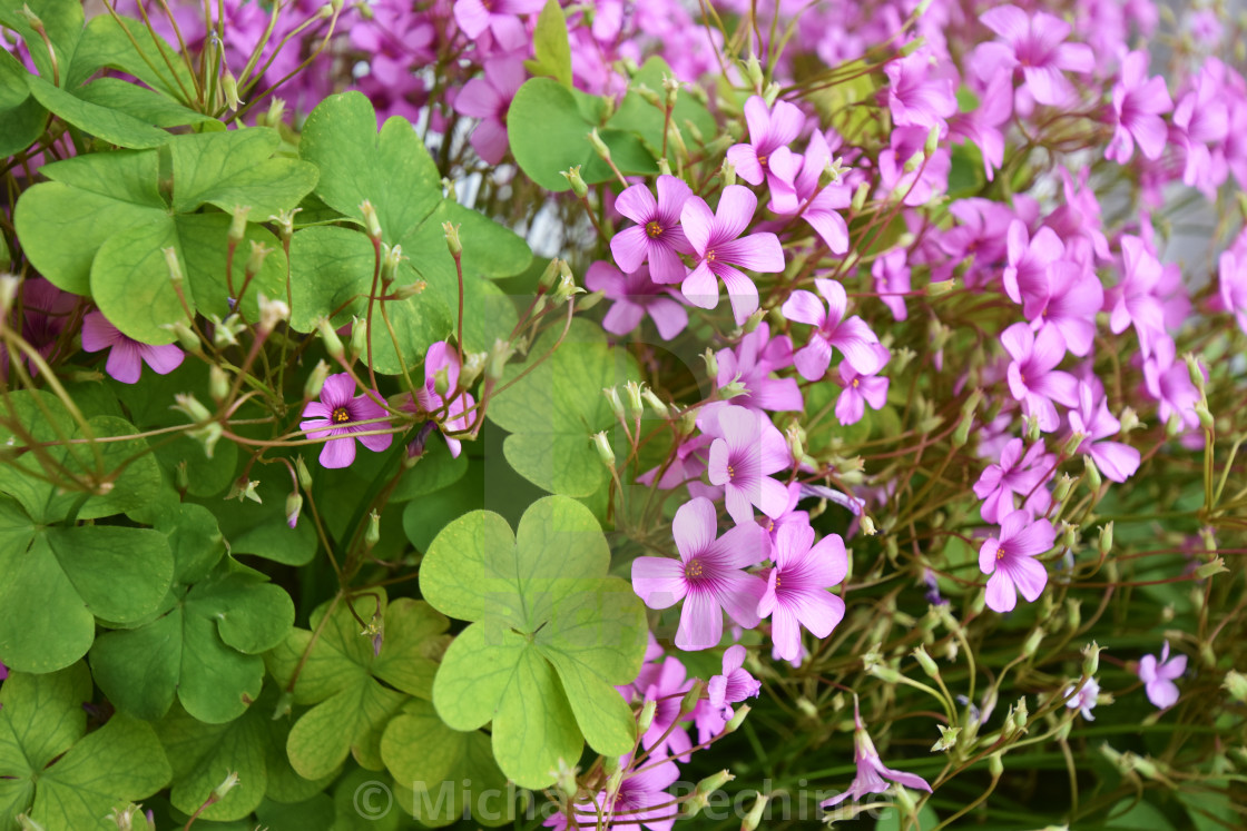 Clover With Heart Shaped Leaves As A Symbol Of Luck And Small Pink
