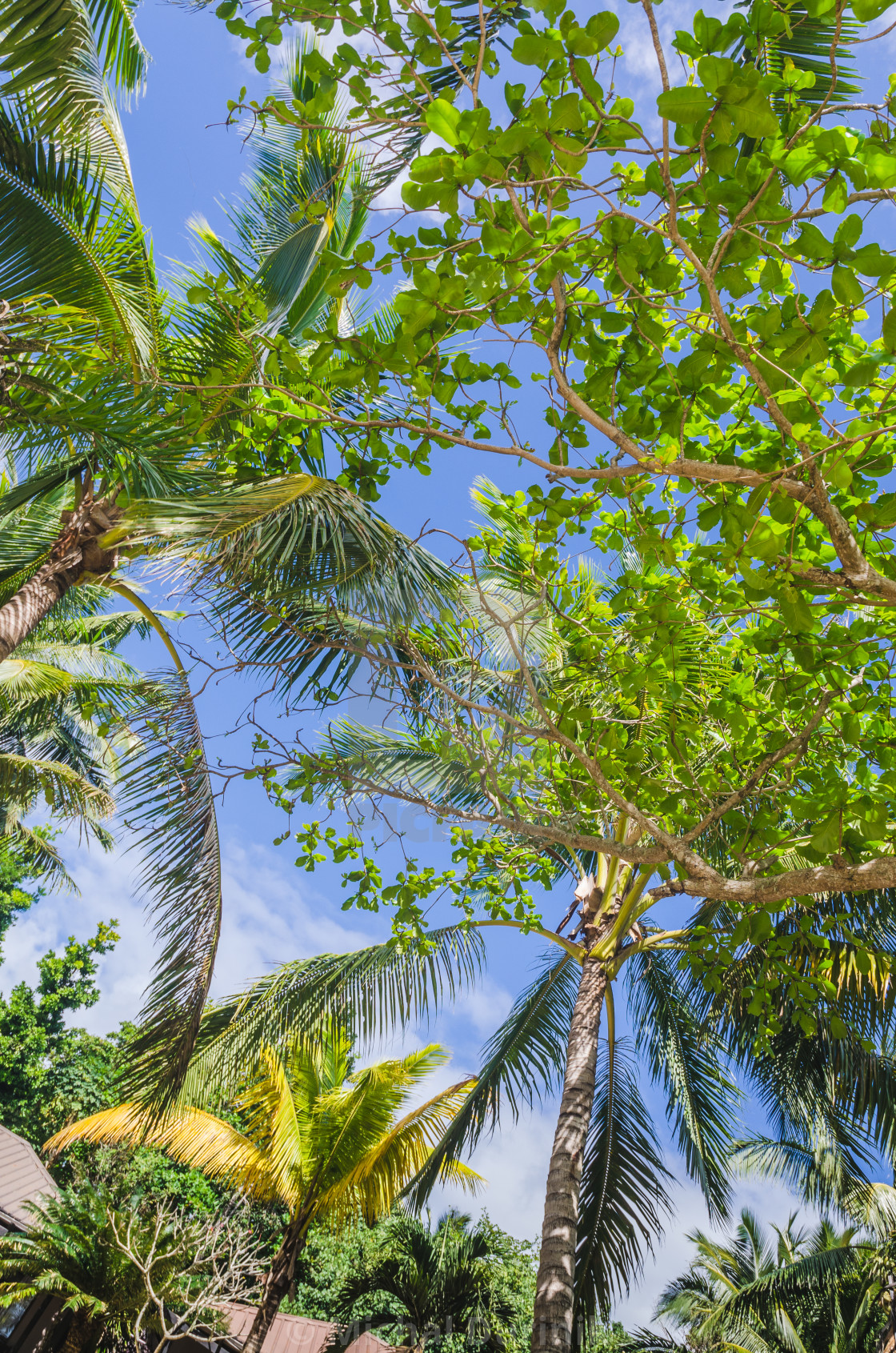 """coconut palm trees"" stock image"
