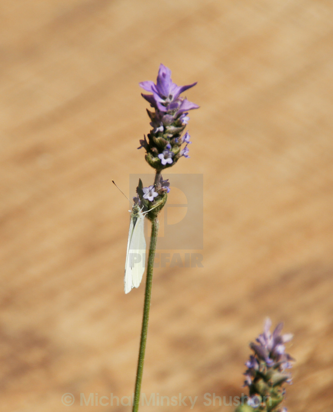 """Lavender & Butterfly"" stock image"