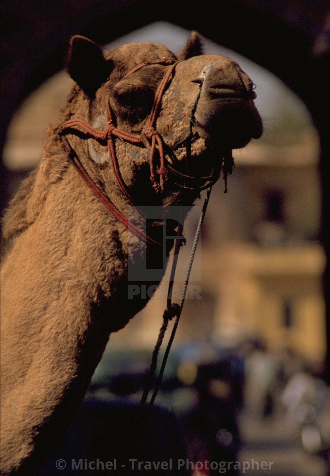 """Camel in India"" stock image"