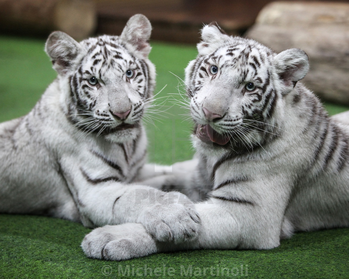 """White Tiger Cubs"" stock image"