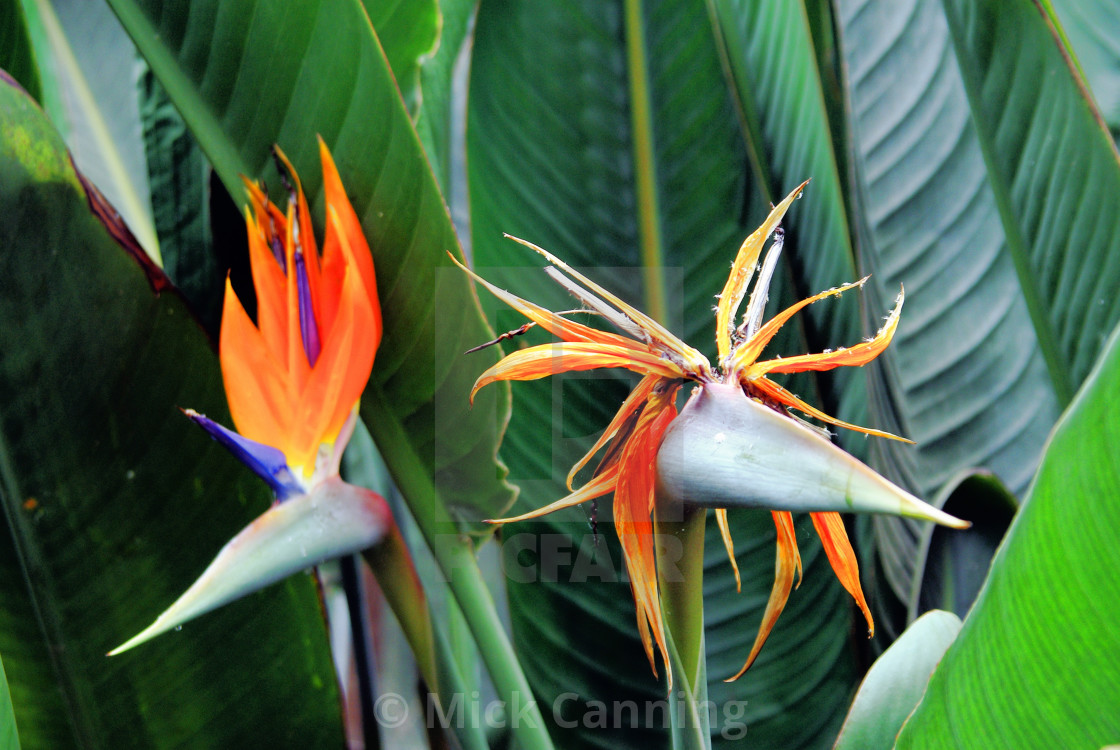 """Bird of Paradise Flowers"" stock image"