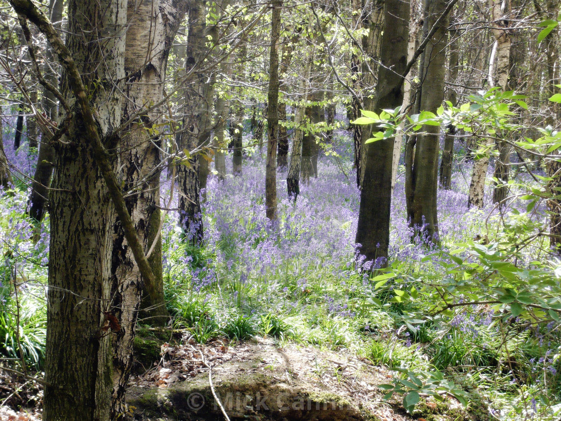 """Bluebell wood"" stock image"