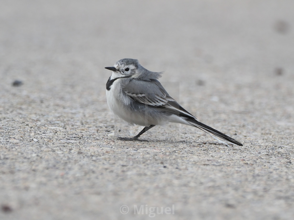 White Wagtail Motacilla Alba On A Windy Day License Download