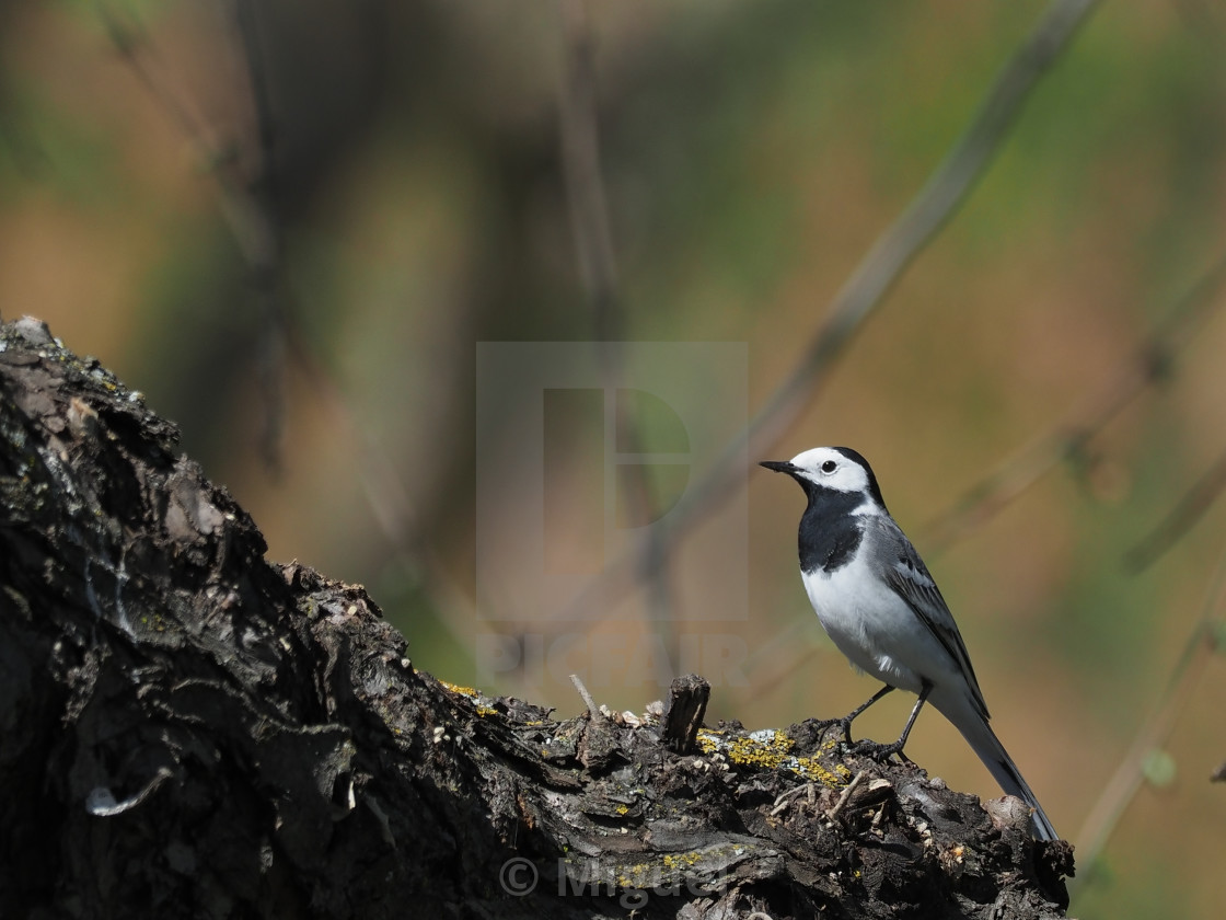 White Wagtail Perched On Wood License Download Or Print For
