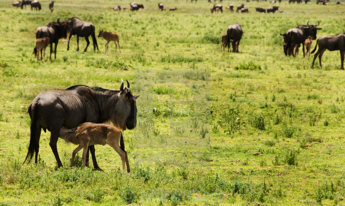 """Blue Wildebeest calf feeding"" stock image"