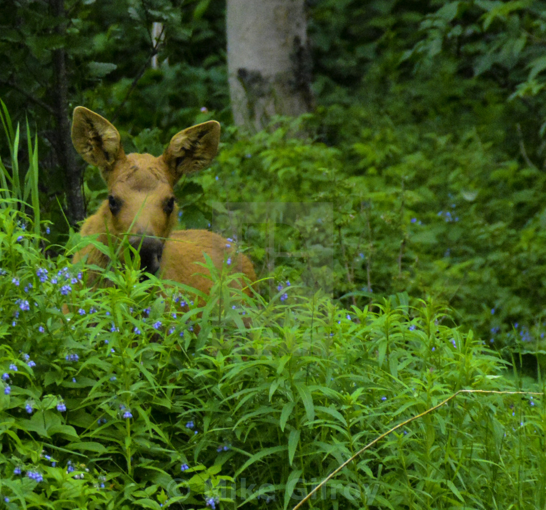 """""""Young Moose,"""" stock image"""
