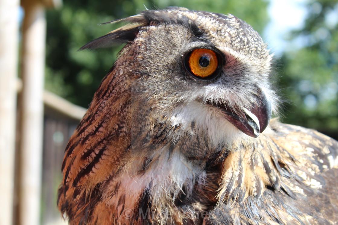 """""""Owl close up"""" stock image"""