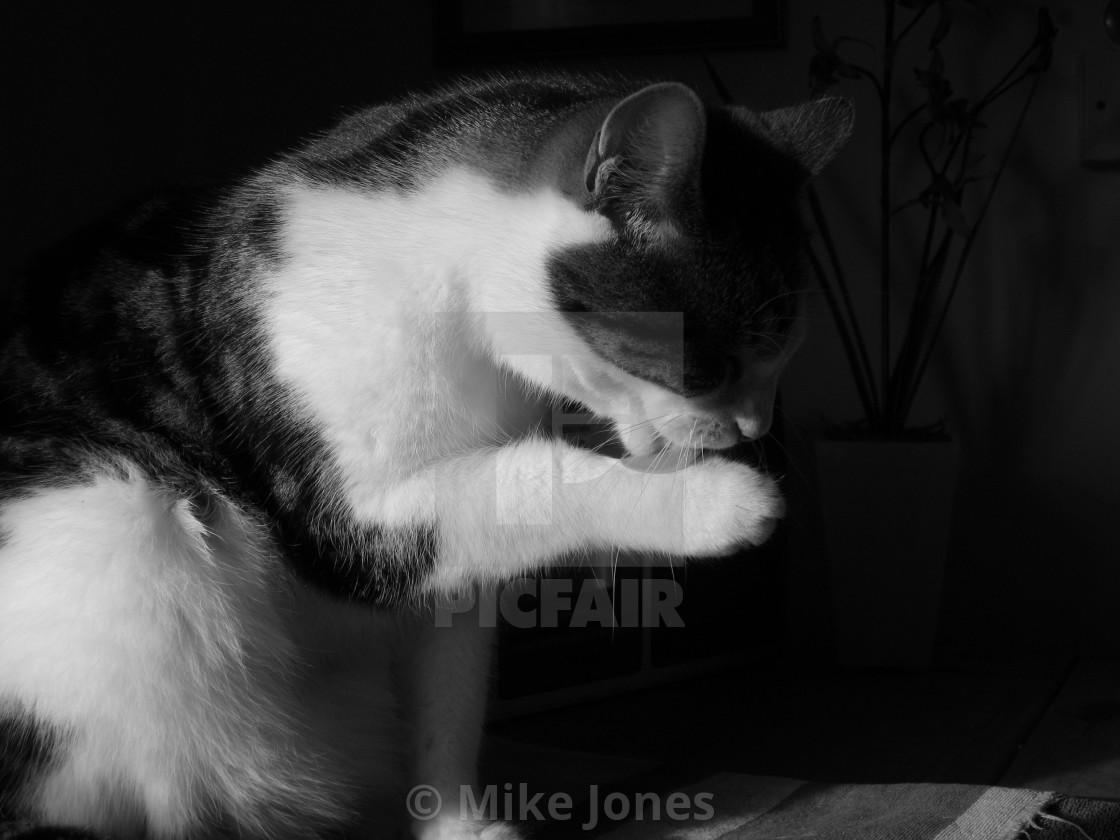 """Cat washing paw"" stock image"