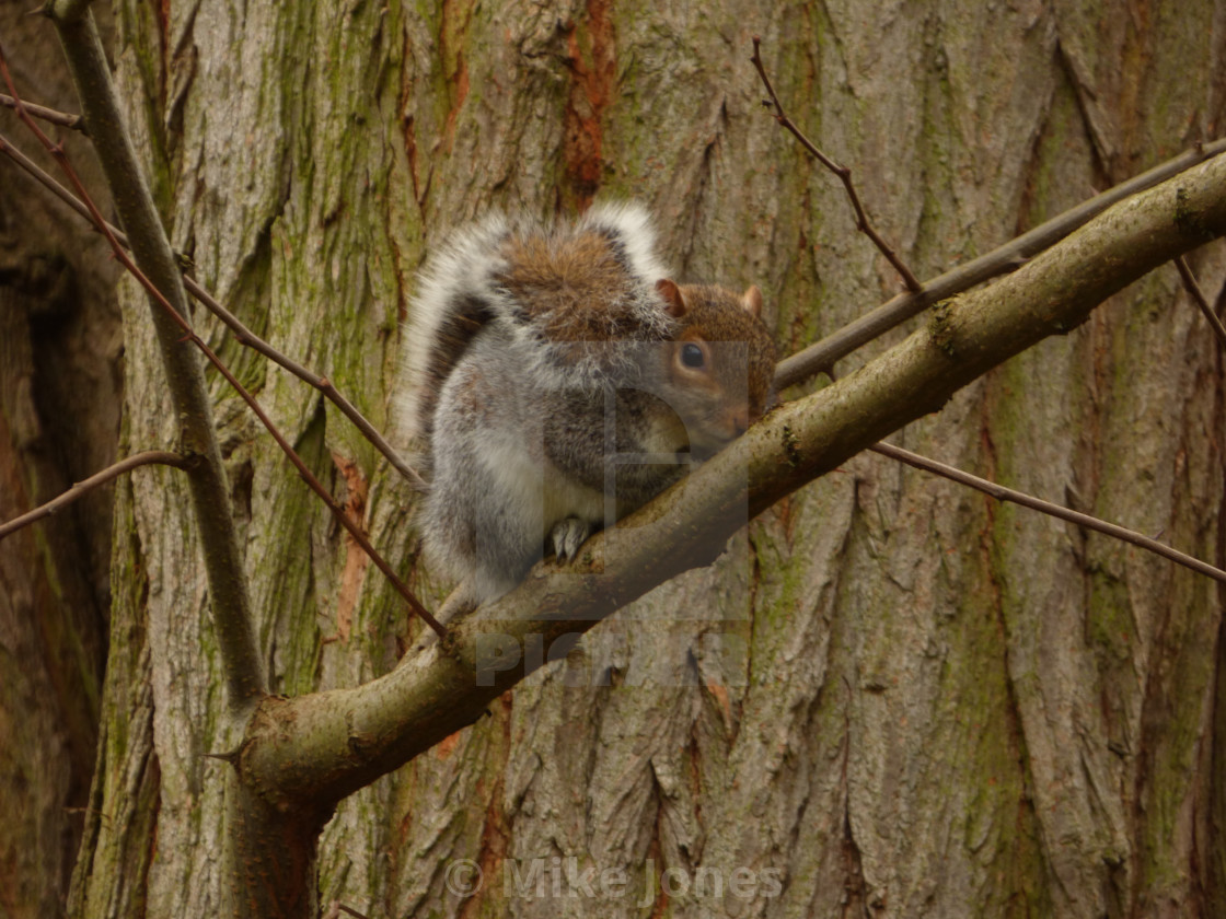 """Squirrel in a tree"" stock image"
