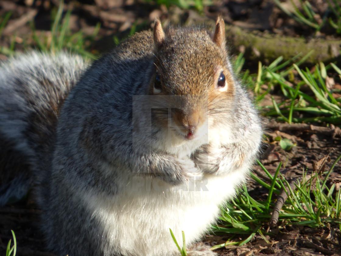 """""""Close squirrel"""" stock image"""