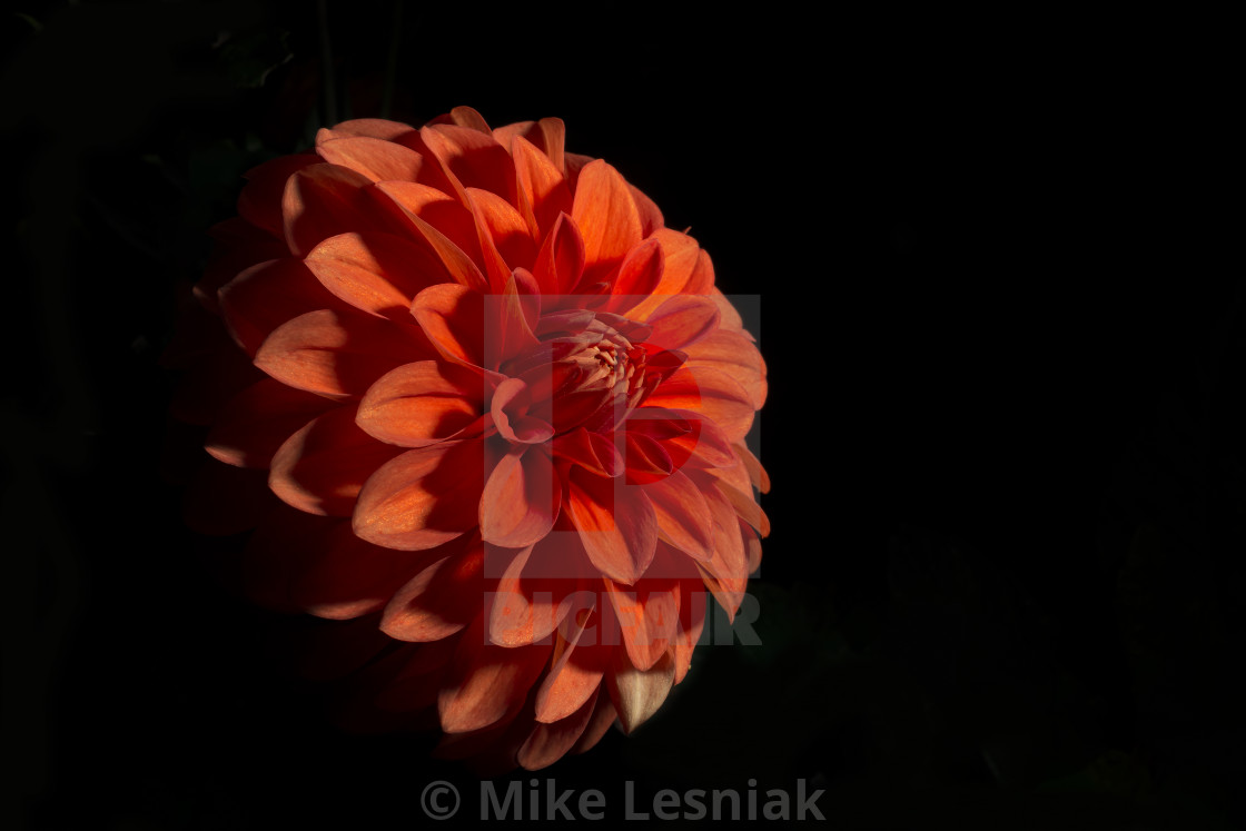 Red Dahlia Flower Black Background License For 2480 On Picfair