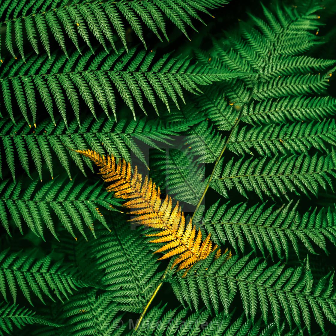 """Dead fern leaf"" stock image"