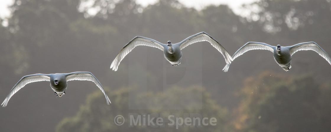 Flight of Mute Swans