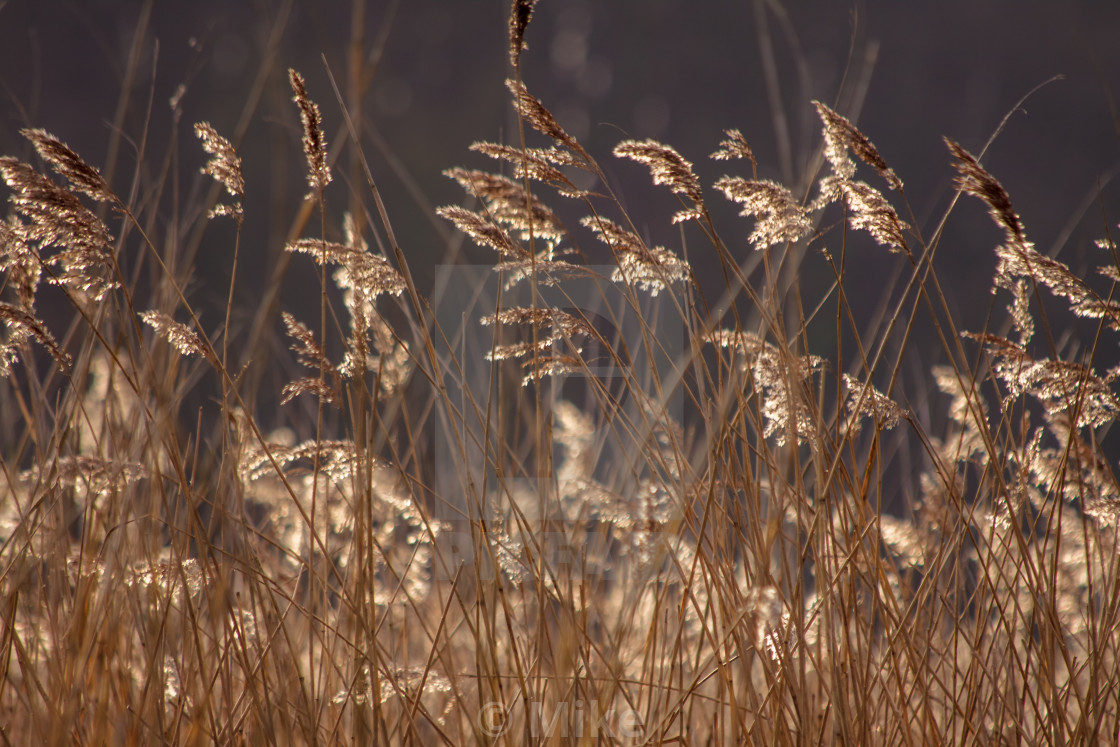 """Sunlit Reeds Closer"" stock image"