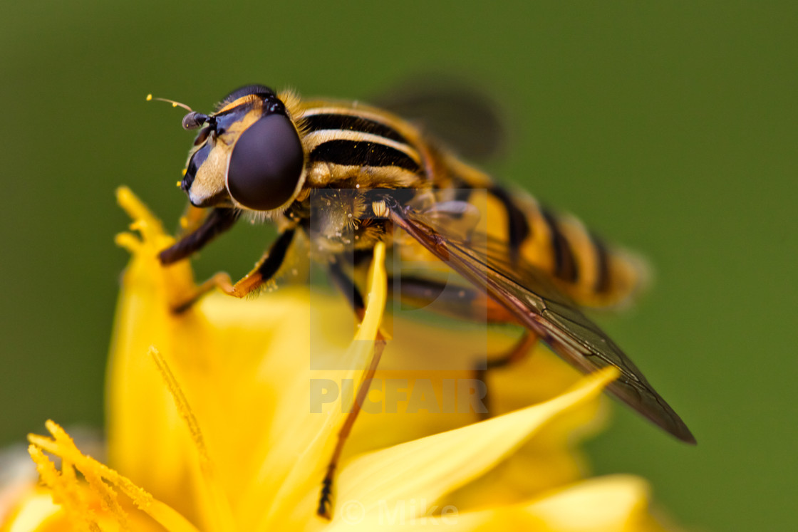 """Sun Fly - Hoverfly"" stock image"