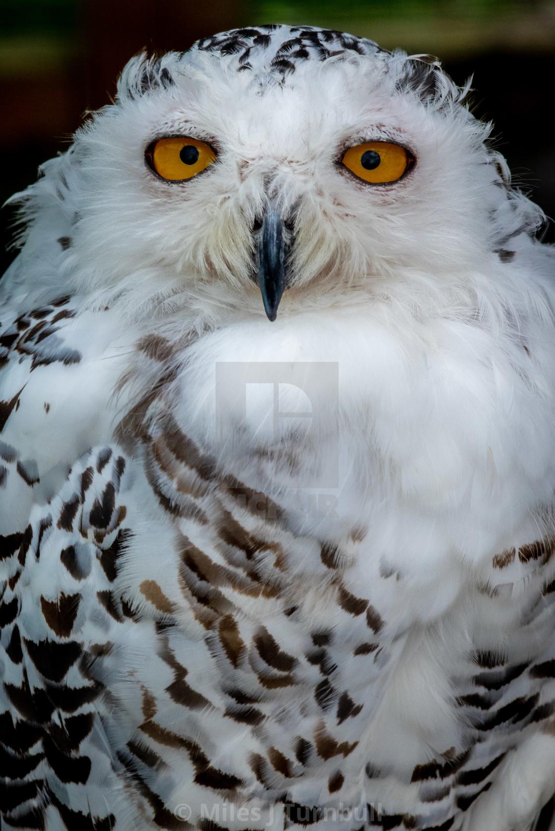 """Portrait of a Female Snowy Owl"" stock image"