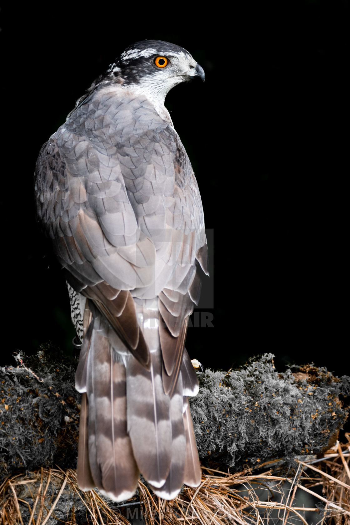 """""""Goshawk (Accipiter gentilis), looking over shoulder, showing fabulous wings and tail"""" stock image"""