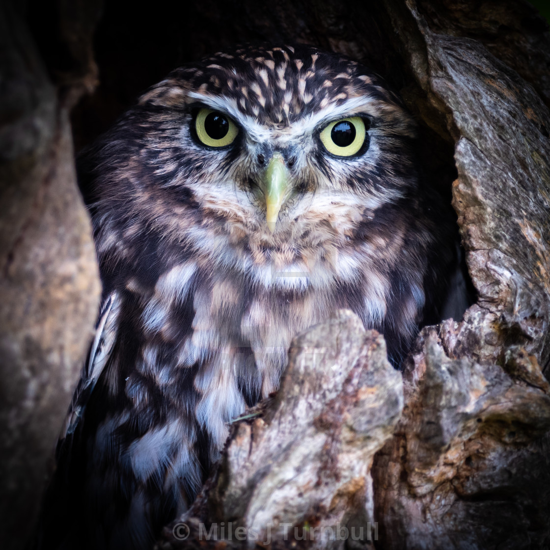"""""""Little Owl (Athene noctua) in a hole in a tree"""" stock image"""