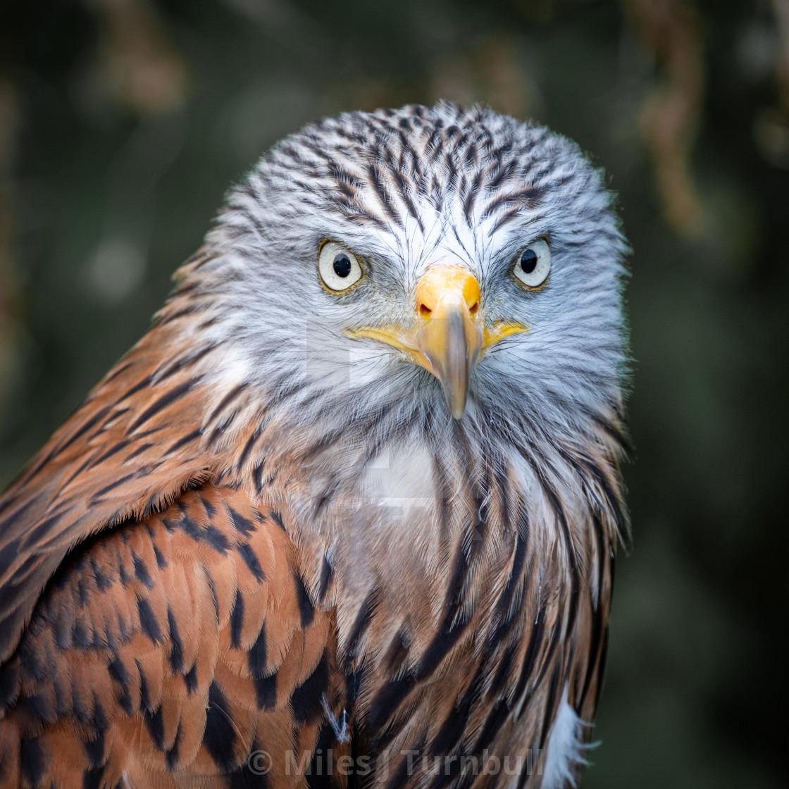 """Portrait of a Red Kite (Milvus milvus)"" stock image"