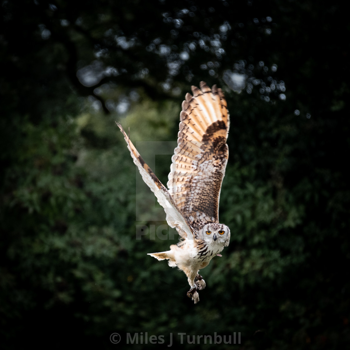 """""""Bengal Eagle Owl (Bubo bengalensis) in flight, wings up"""" stock image"""