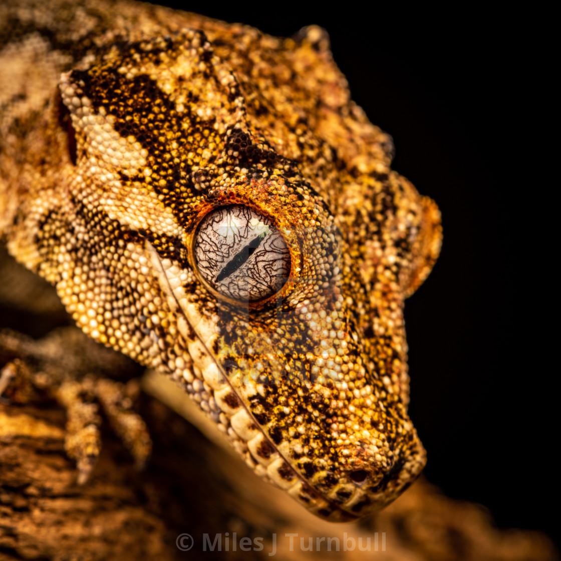 """Gargoyle Gecko, close-up of head and eye"" stock image"