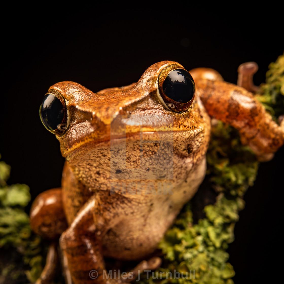 """Close-up (macro shot) of a Rough Frilled Tree Frog (Rhacodactylus auriculatus), against black background"" stock image"