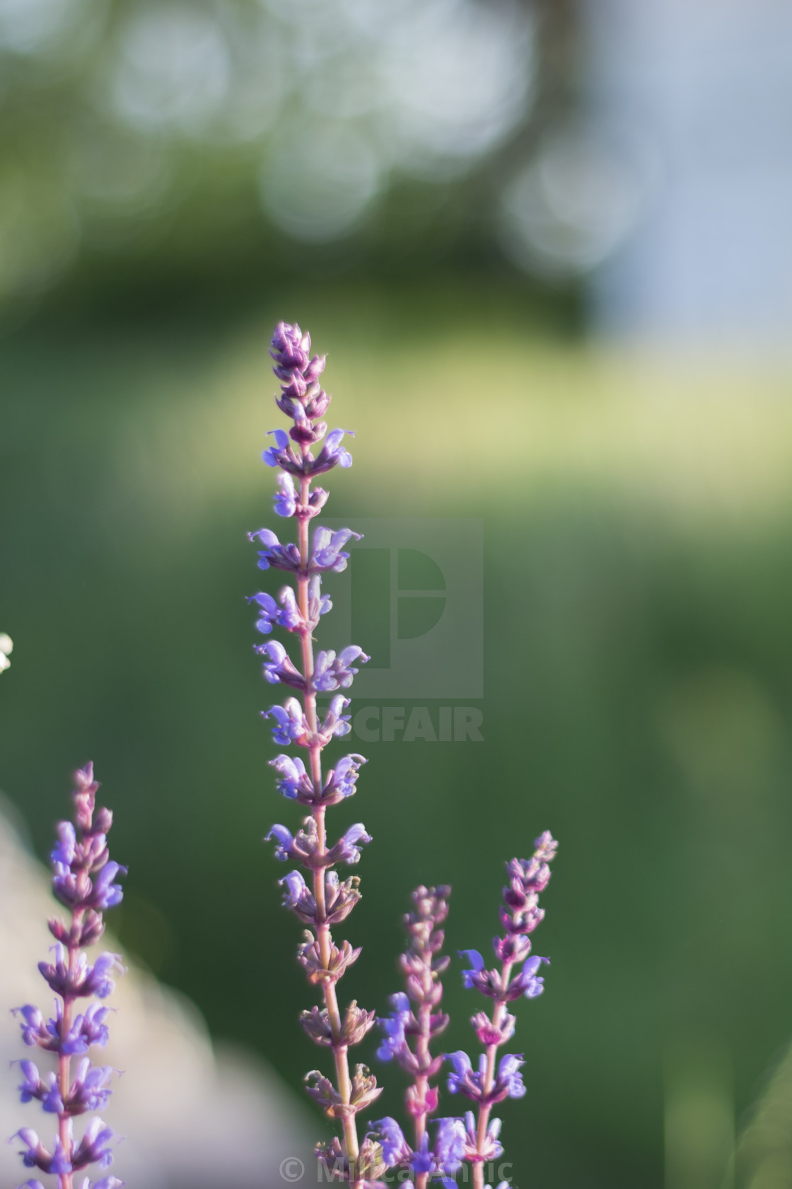 """Purple wildflowers"" stock image"