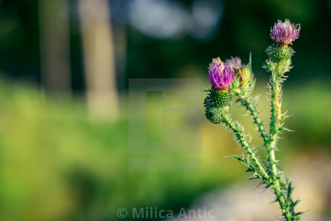 """Thistle in bloom"" stock image"