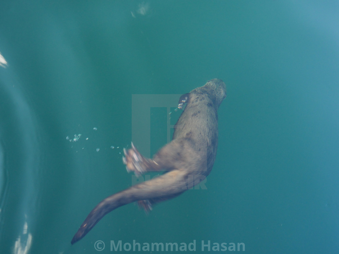 """""""The Diving Beaver"""" stock image"""